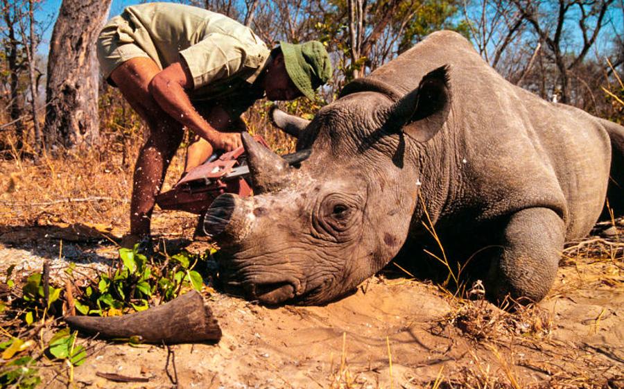 _northern white rhino