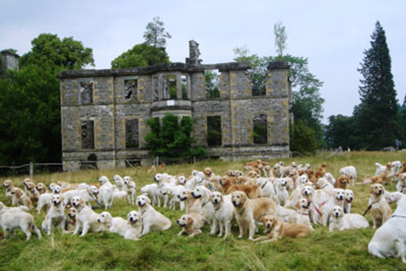 5_Golden Retriever Festival (Scotland)