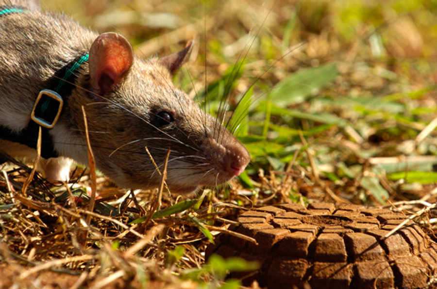 Giant rats are becoming highly-trained bomb detectors and ...