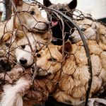 Why Instagram celebrities condemning the Yulin Dog Meat Festival is the irony of the century