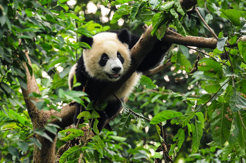 Panda Daycare Is Fighting To Protect One Of The World S