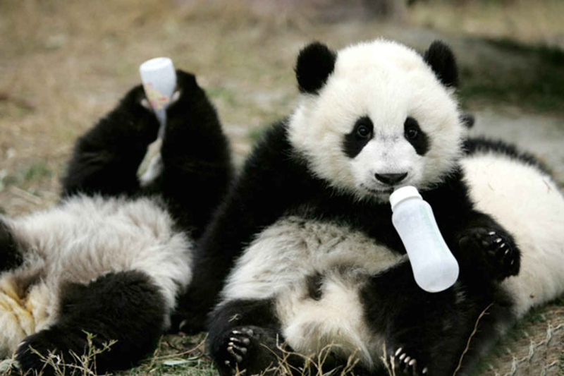 conservation of panda or to protect To help protect this important species, ci has launched a comprehensive giant  panda conservation plan mcdonald's has joined this effort by.