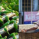 Meet the man who cares for 4,000 wild parakeets, after a deadly tsunami left them displaced