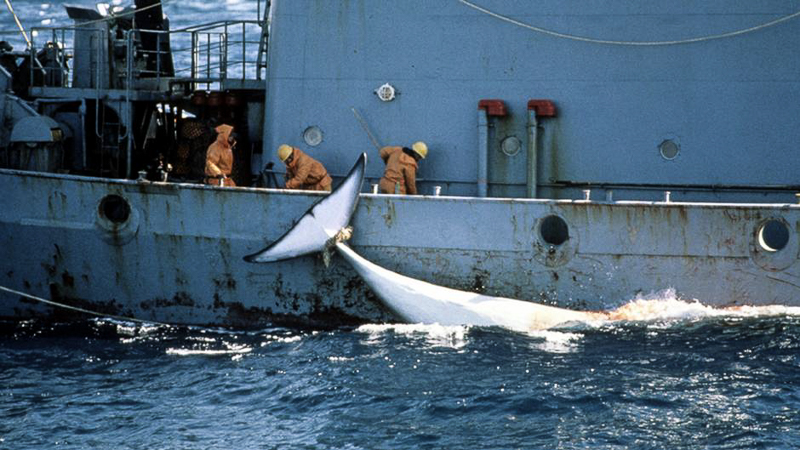 fin whales whaling