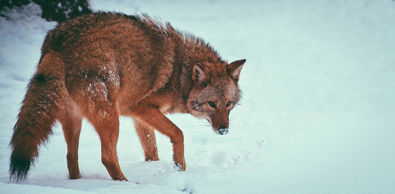6_Coyotes and wolves are mating