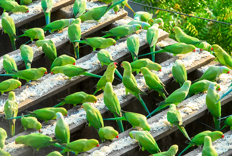 8_wild parakeets tsunami