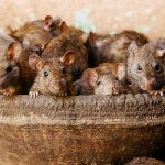 The Indian temple that is dedicated to a Hindu goddess – and 20,000 rats.