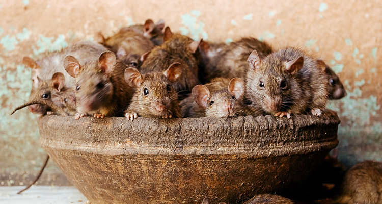 1_Indian temple rats