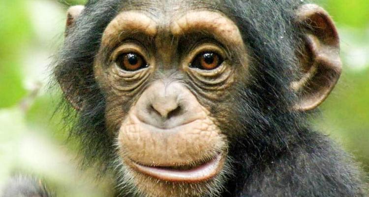 1_chimpanzee (1 of 1)
