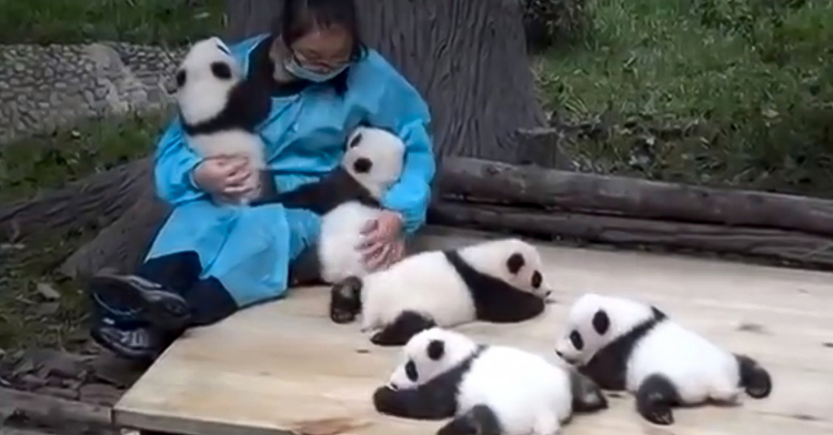 2_get paid $32,000 to cuddle with baby pandas all day