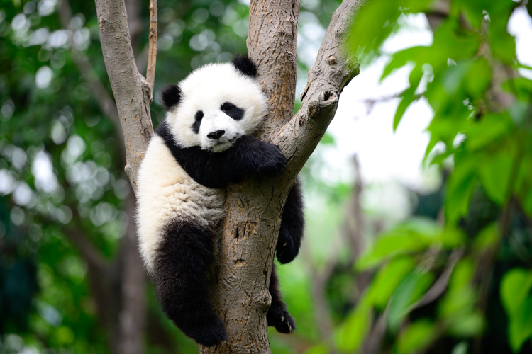 3_get paid $32,000 to cuddle with baby pandas all day