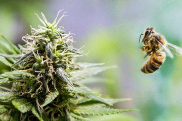 1_canna-honey bees