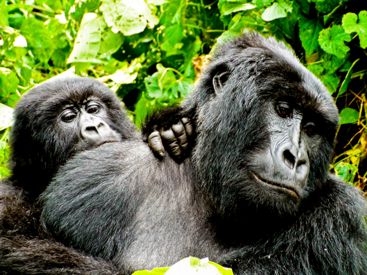 2_endangered gorillas