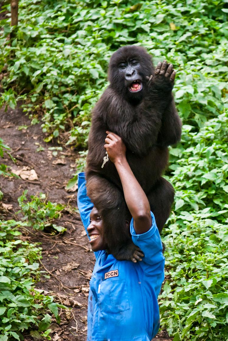 7_Endangered gorillas