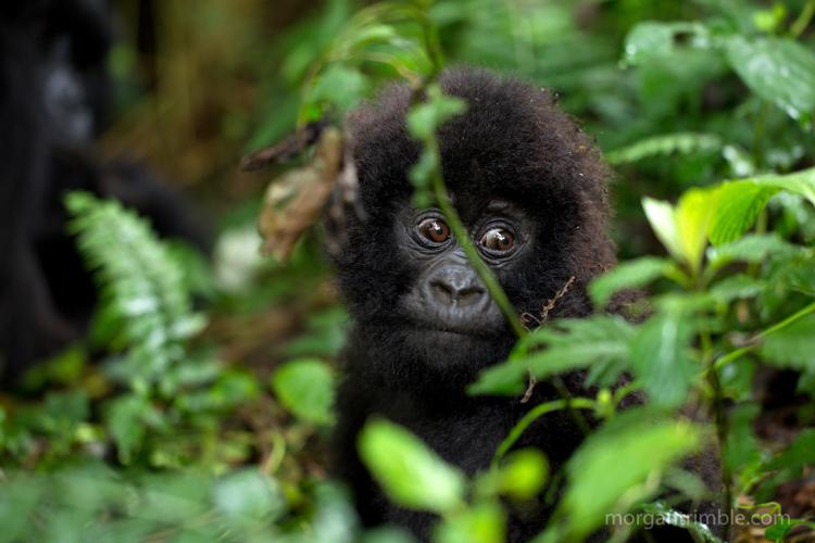 9_endangered gorillas