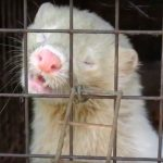 Japan says no to animal cruelty by closing its last remaining fur farm