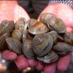 Ancient clams have been holding the secrets of climate change for 1,000 years