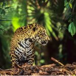 A new project aims to save the jaguar by moving them to habitats free from human interference