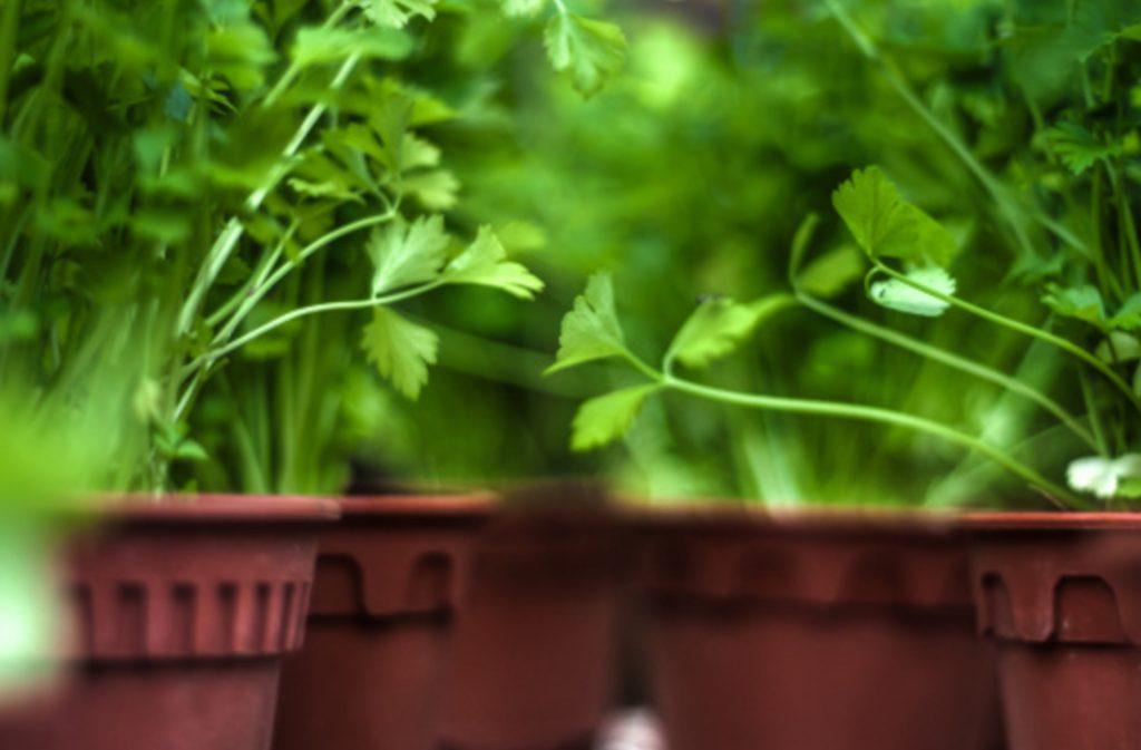 herb garden ideas_cilantro
