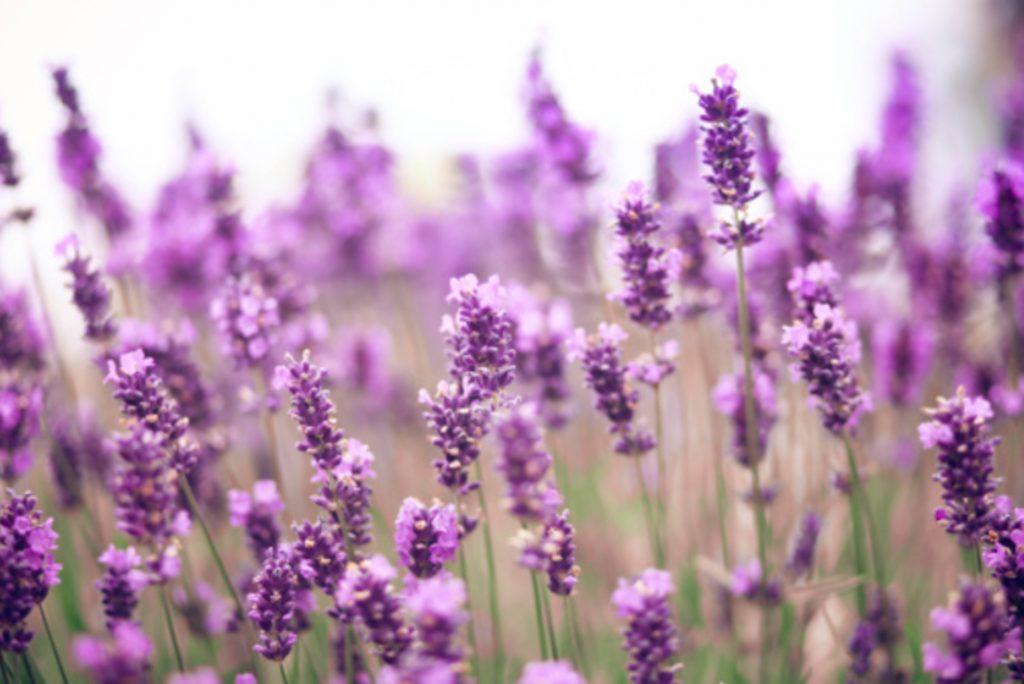 herb garden ideas_lavender
