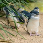 This town just made their tiny penguins' commute safer (video)