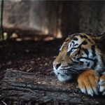 This is the kickass plan scientists have formulated to bring extinct tigers back to life