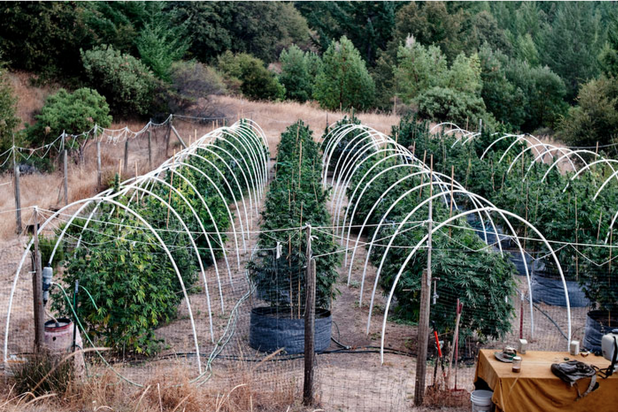 marijuana growers_1