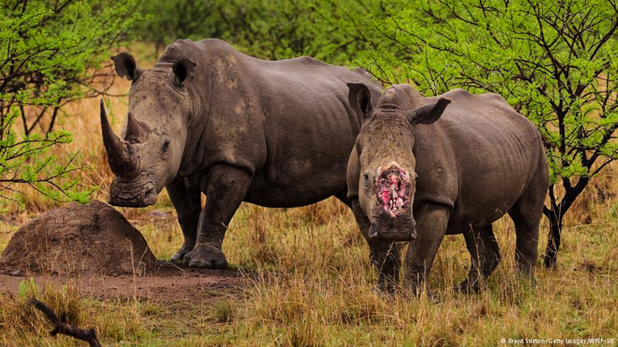 4_northern white rhino