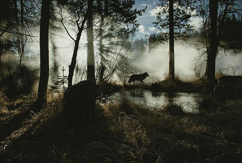 6_wild wolves