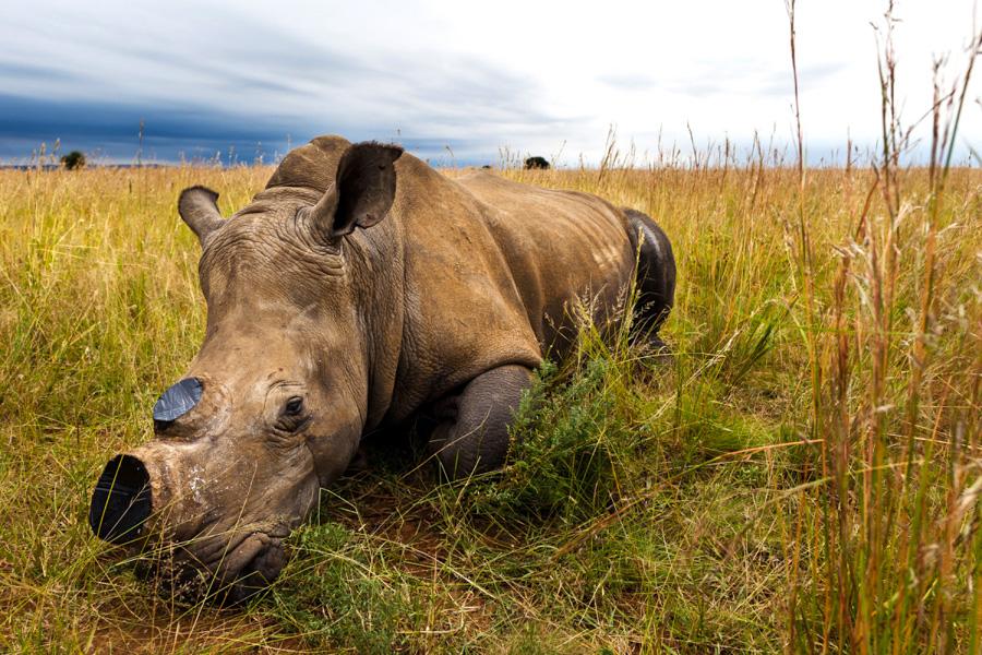 2_fake rhino horns