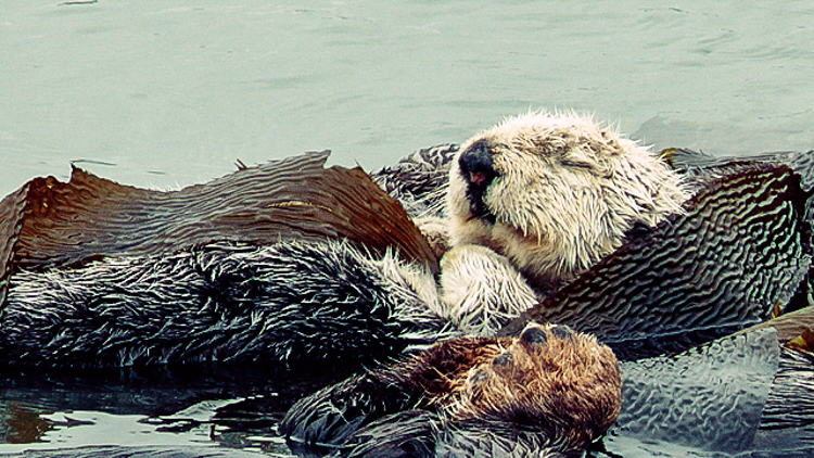 3_otters_lower carbon dioxide