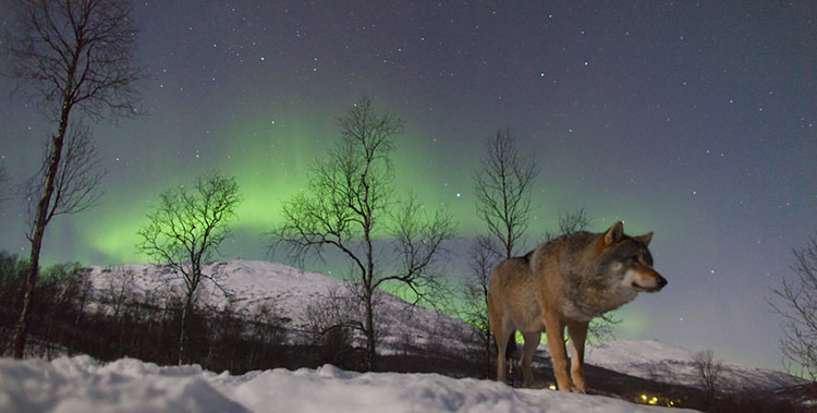 this wolf sanctuary lets you watch the northern lights