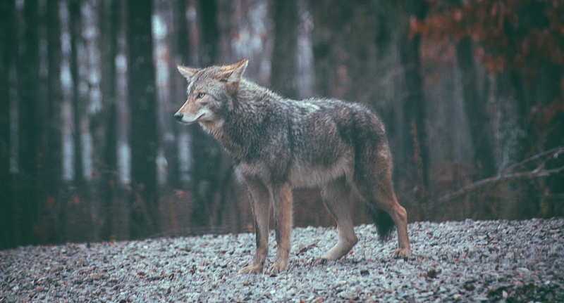 2_Coyotes and wolves are mating