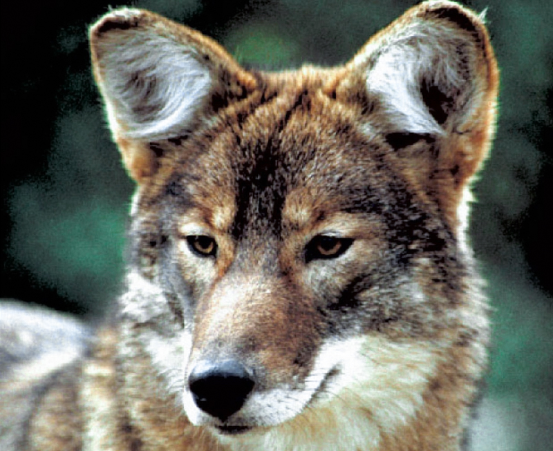 3_Coyotes and wolves are mating