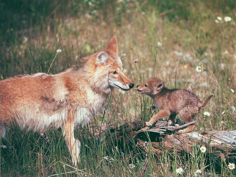 4_Coyotes and wolves are mating