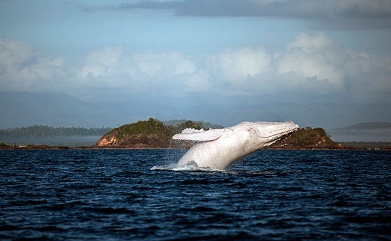 4_world's last all-white humpback whale