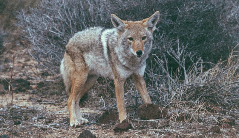 5_Coyotes and wolves are mating
