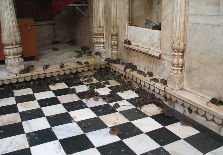 3_Indian temple rats