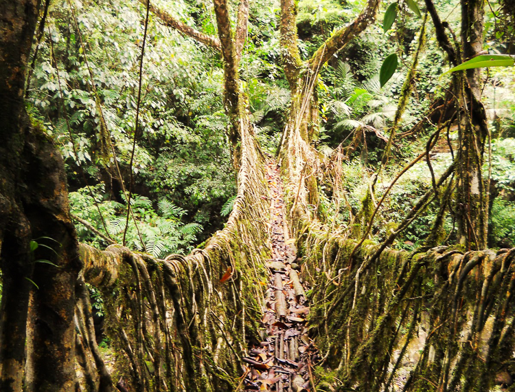 4_India's living root bridges
