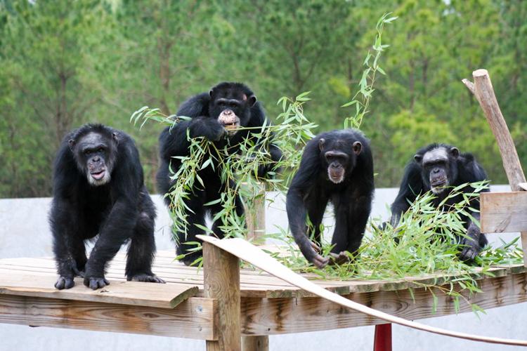 2_chimpanzee (1 of 1)