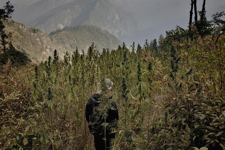 4_Himalayan cannabis village