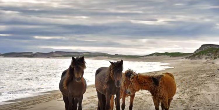 3_Canadian island Wild Free horses