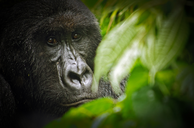 A mountain gorilla from the Kabirizi family at Virunga National Park sits quietly in some bushes waiting for the rain to stop. Virunga National Park is the oldest national park in Africa and a World Heritage Site. It is is home to more than a quarter of the world's remaining 790 critically endangered mountain gorillas. Seven of the eight volcanoes in the Virunga range lie within the park, including Nyiragongo, one of the most beautiful and active volcanoes in the world. To the north stand the snow-capped majestic Rwenzori Mountains, over 5000 meters high.