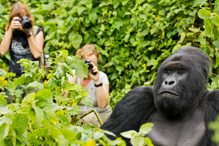 5_endangered gorillas