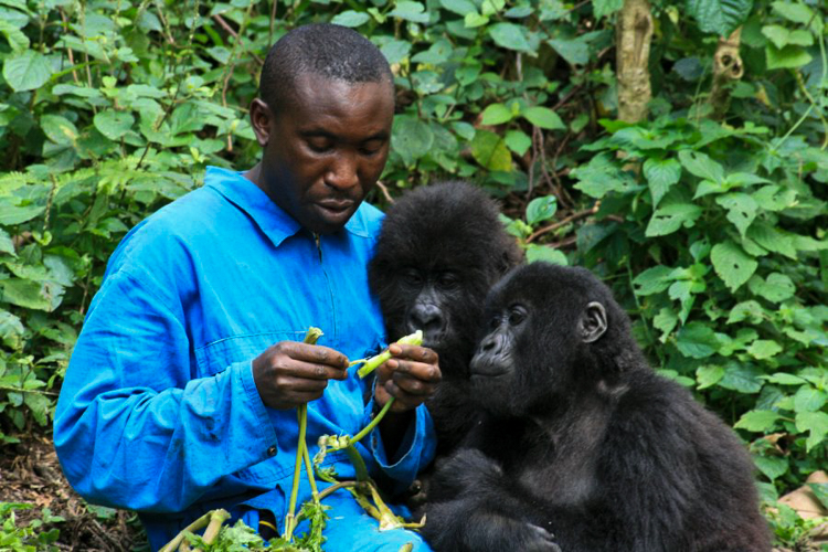 Ndeze and Ndakasi, two of the only four orphan mountain gorillas in captivity with Andre, their caretaker.