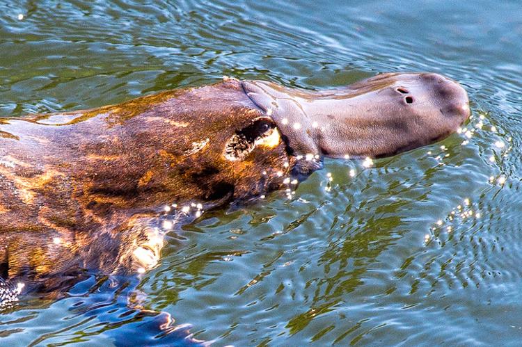 Reclusive Platypus
