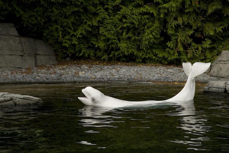 Vancouver Aquarium Beluga whale ban