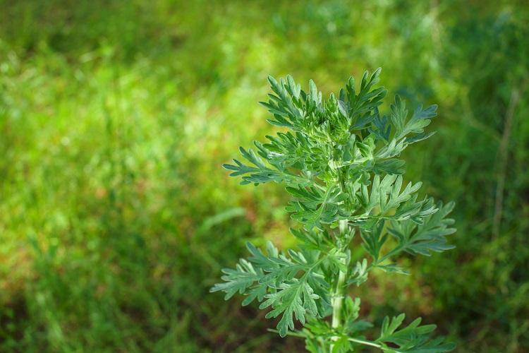 Artemisia Annua 2